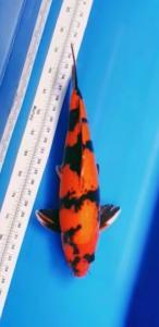 0766-Paul Taro - Jakarta - green Ocean Koi Center - Bandung - Hi Ki Utsuri - 50cm - male - 082213449087