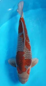 0564-Paul budiman-klaten-RHW-klaten-kawarimono-65cm-male