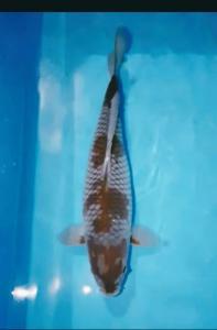 0764-Dodi juhadi - Jakarta - green Ocean Koi Center - Bandung - kawarimono - 45cm - Female - 082213449087