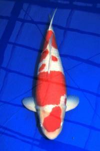 0003-MALE Kohaku 77 cm