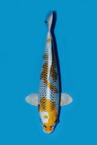 0646-Khalafi Dhia A - Bogor - Solaris Koi - Bogor - Kirin - 47 cm - Female - 081316158627