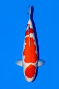 0013-Kohaku 60 cm
