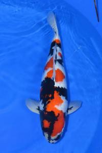 0124-dodokoi-jakarta-hinodekoi-tangerang-showa-70cm Female
