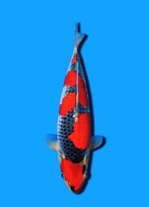 0612-HansKoi - Bandung - SCKtasikigoi - Tasikmalaya - Goshiki - 39cm
